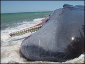 Strandedwhales